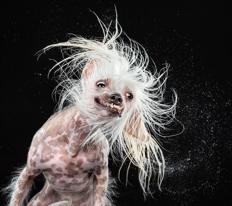 Фотографии отряхивающихся собак Кэрли Дэвидсона