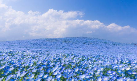 Цветение немофил в Hitachi Seaside Park, Япония