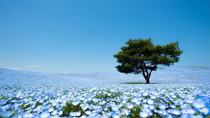 Цветение немофил в Hitachi Seaside Park, Япония