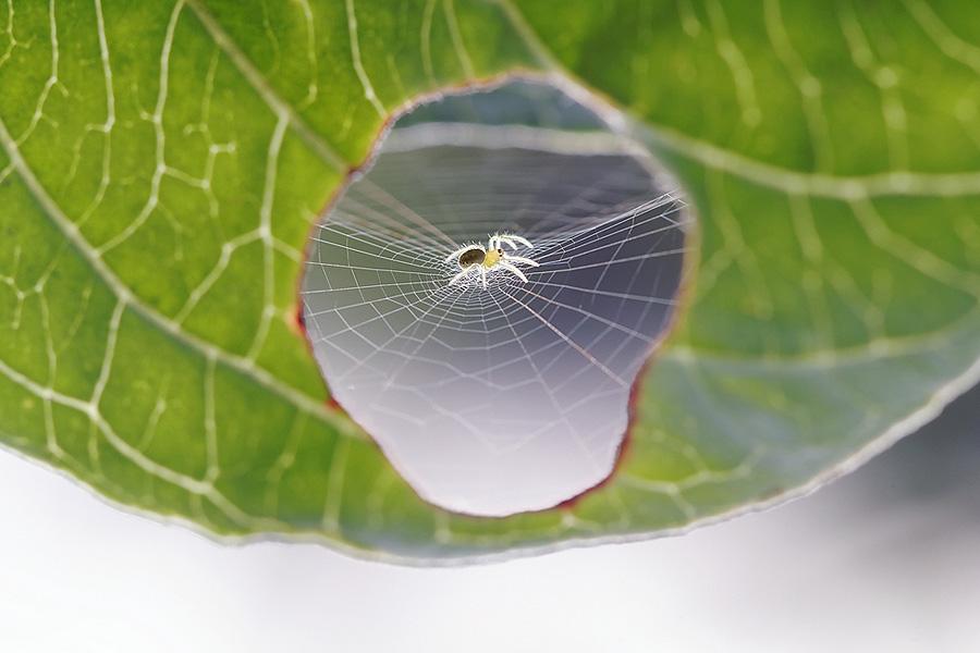 Фотографии паука, штопающего лист растения. Bertrand Kulik