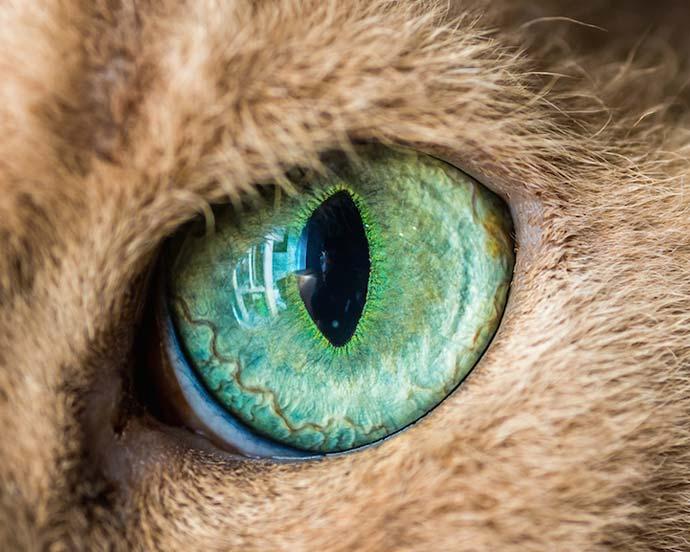 Кошачий глаз крупным планом на фотографиях Andrew Marttila