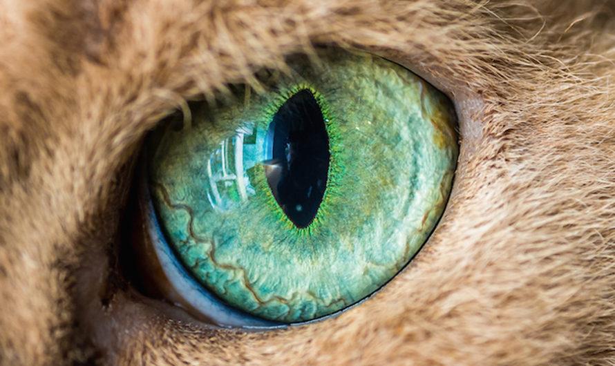 Животный магнетизм: кошачий глаз крупным планом