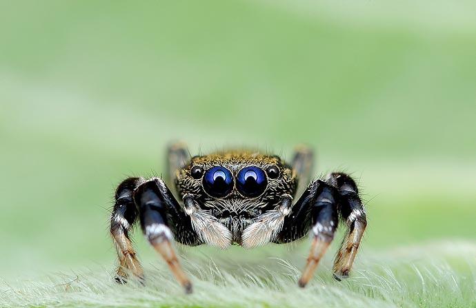 Глаза в глаза : Макрофотографии пауков Jimmy Kong