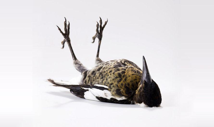 Птичий характер : выразительные портреты пернатых Leila Jeffreys