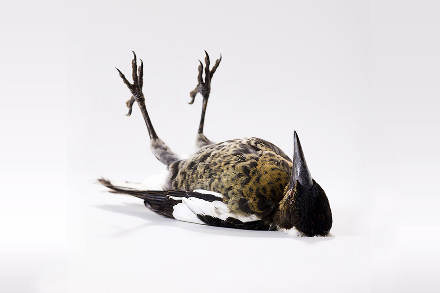 Птичий характер: фотографии птиц Лейлы Джеффрис (Leila Jeffreys)
