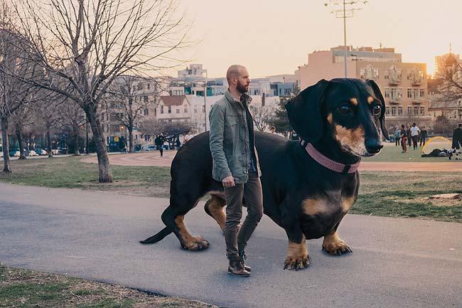 Такса в Бруклине: гигантская собака Mitch Boyer