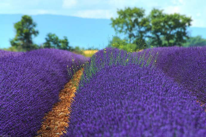 Цветущие лавандовые поля